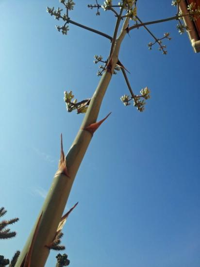 Hampe florale - Agave palmeri - Exotica Tolosa juillet 2014
