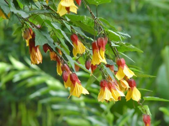 Abutilon X 'kentish belle'- oct 2013