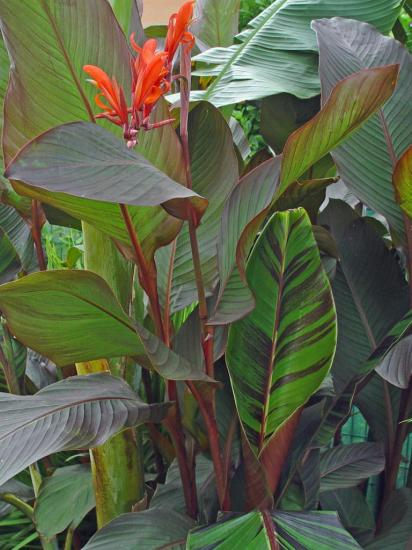 Canna 'russian red' - aout 2013