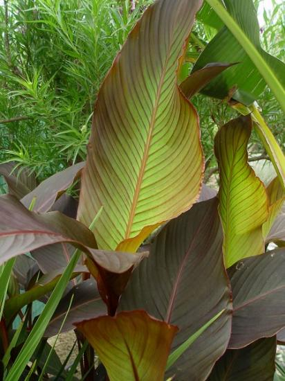 Canna 'Russian red' (feuillage) - juillet 2013