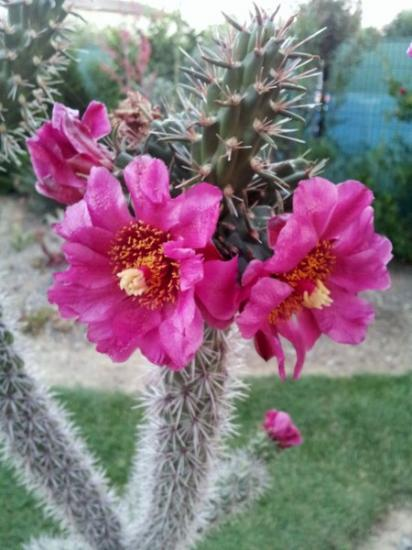 Cylindropuntia spinosior - juillet 2013 (2)_450x600