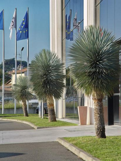 Yucca rostrata - site Airbus de Colomiers