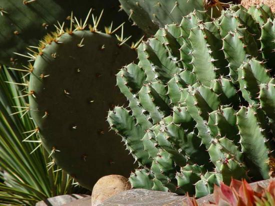 Euphorbia resinifera au premier plan