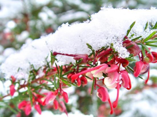 Fleurs de Grevillea jenkensii dans la neige