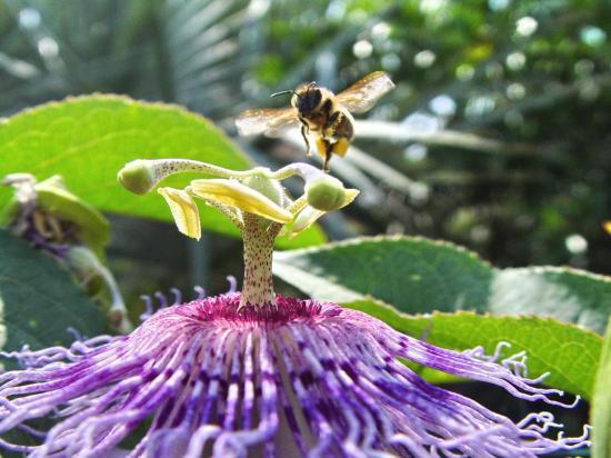 Vol stationnaire au dessus d'une Passiflora incarnata