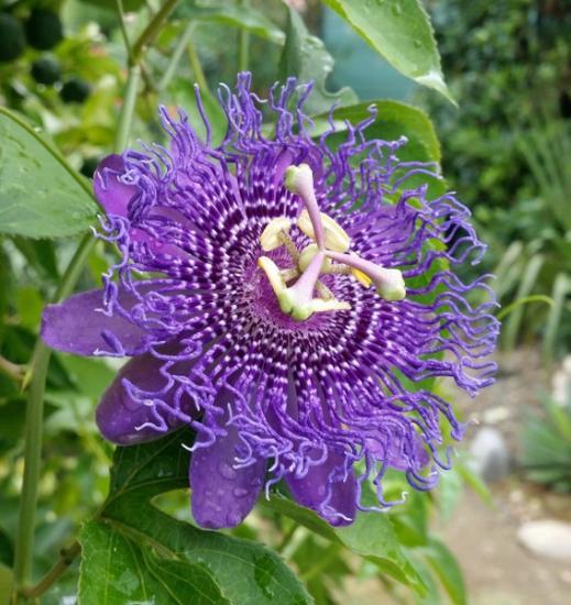 Exotica Tolosa - Passiflora Fata Confetto hybrid - aout 2016