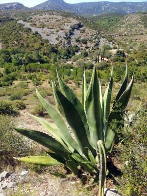 Jardin de Foncaude - agave salmiana