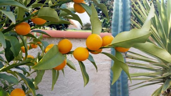 Kumquat BB (Bachès Biggio)