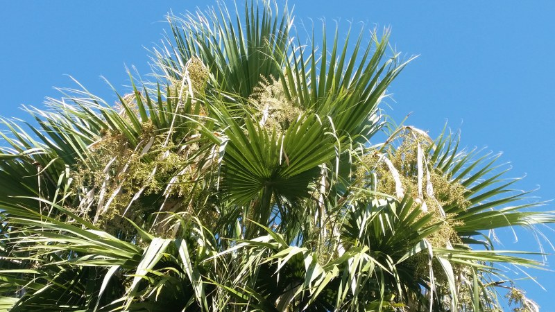 Washingtonia filifera, Toulouse st cyprien