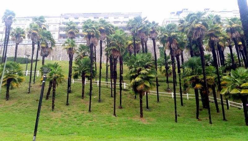 Palmiers à Pau