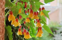 abutilon-x-kentish-belle-detail-640x416.jpg