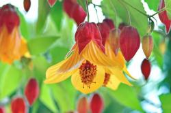 abutilon-x-kentish-belle-macro-640x426.jpg