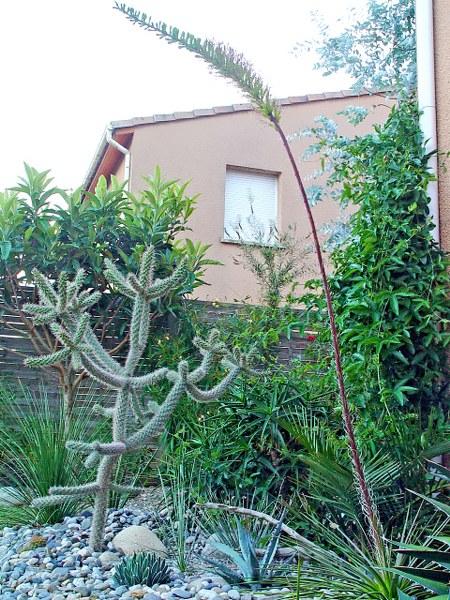 Agave stricta floraison juillet 2011 - Exotica Tolosa