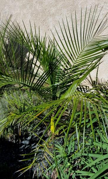 Butia paraguayensis x parajubea cocoides