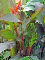 canna-russian-red-aout-2013-360x480.jpg