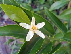 Citrangequat thomasville floraison