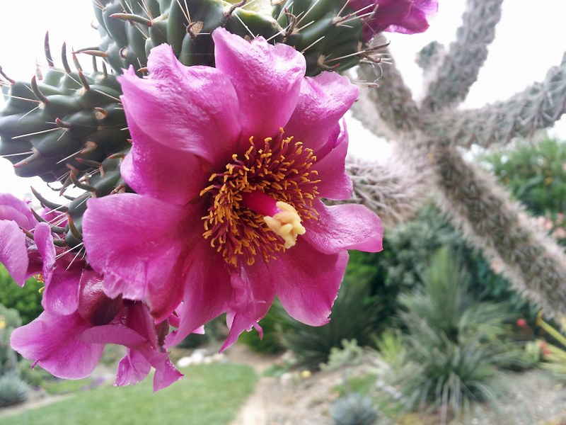Cylindropuntia spinosior -exotica tolosa-