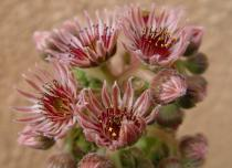 Floraison sempervivum 'Othello'