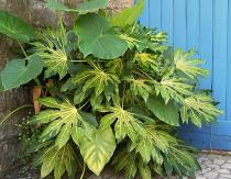 fatsia-japonica-annelise