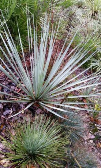 Nolina nelsonii yucca linearifolia 360x600