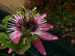 passiflora-victoria-oct-2012.jpg