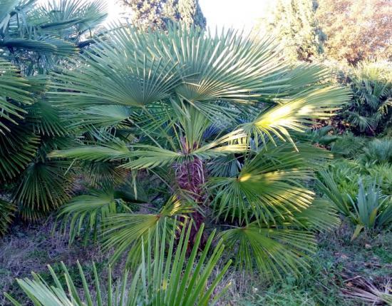 Trachycarpus wagnerianus x nainital