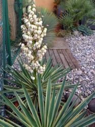 yucca-gloriosa-variegata-oct-2012.jpg