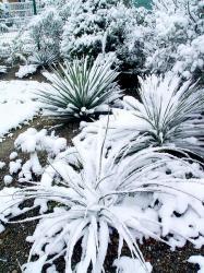 yuccas-13-mars-2013-450x600.jpg